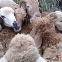 گوسفند زنده نصف گوشت